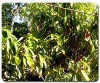 Huile essentielle de Bois de Rose 15ml