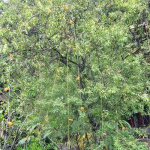 Huile essentielle de bois de Santal 15ml