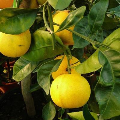 Huile essentielle de petit grain aussi appelé Oranger Amer, Petit Grain Bigarade 15ml